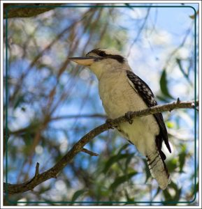 kookaburra in Australian gum tree